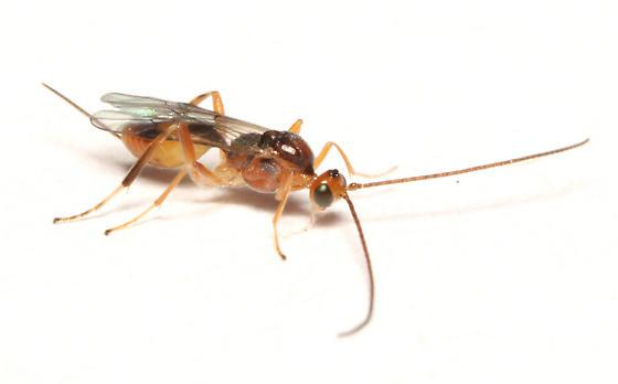Braconidae, lateral - Meteorus - female