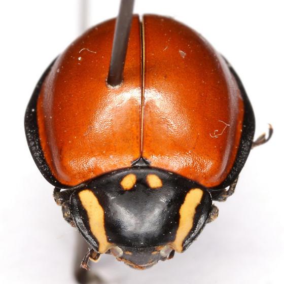 Anatis lecontei Casey - Anatis lecontei