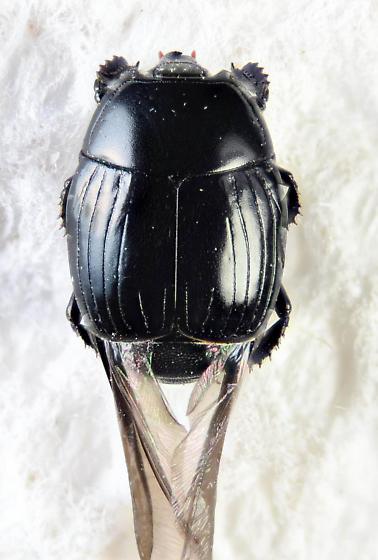 Nice little Histerid  - Margarinotus umbrosus