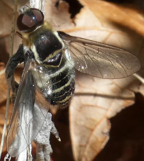 Bee-like fly - Villa