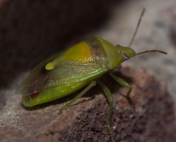 Green and yellow stink bug - Banasa dimidiata