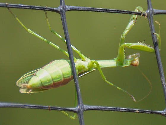 Narrow-winged Mantis - Tenodera angustipennis - female