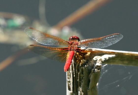 Cardinal Meadowhawk - Sympetrum illotum - male