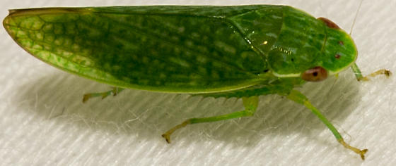 tiny green hopper - Rugosana querci