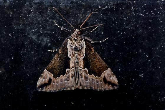 moth - Hypena baltimoralis