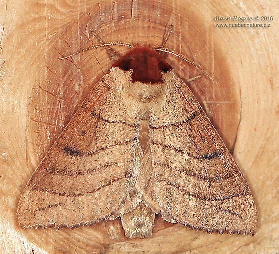 Moth - Datana