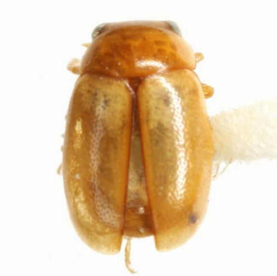 Hyperaspidius nanellus Gordon - Hyperaspidius nanellus