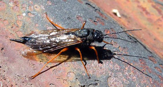 Urocerus maybe - Sirex - female