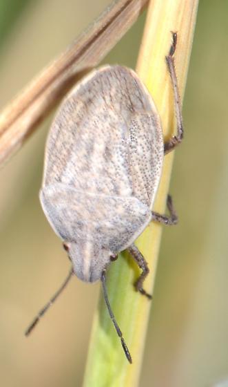 Eurygaster - Coenus delius