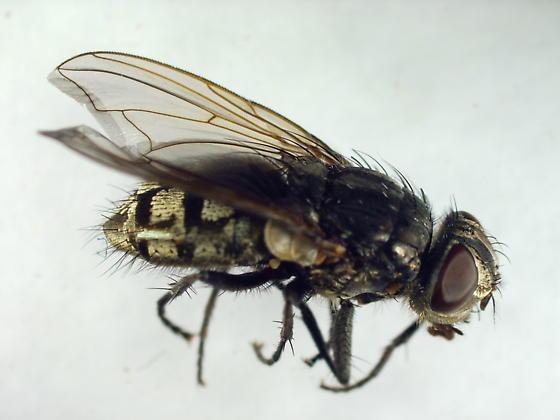 Muscidae? - Pollenia pediculata