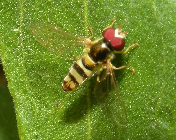 More syrphids - Allograpta exotica - male