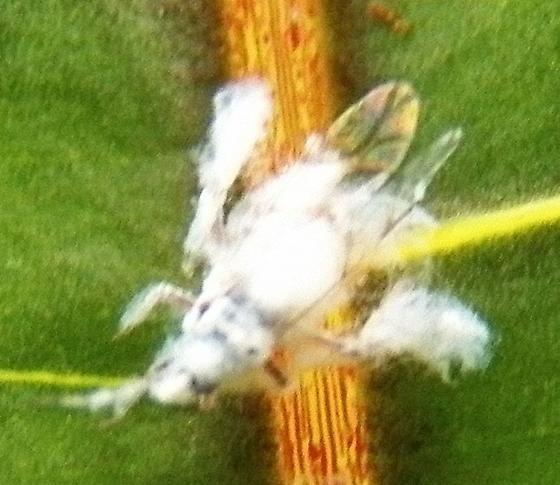 White aphid ? - Shivaphis celti
