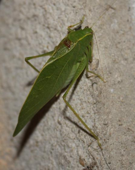 Katydid - Microcentrum retinerve - male