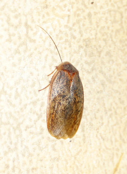 Mottled Roach sp.? - Arenivaga bolliana - male