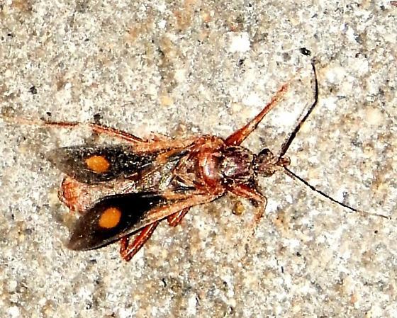 New to me - Rasahus thoracicus