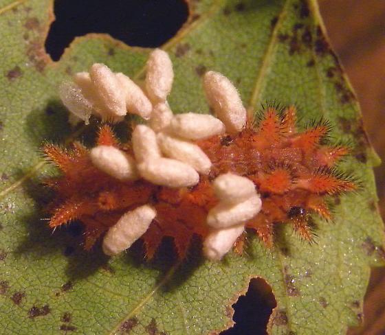 Pennsylvania Caterpillar - Euclea delphinii