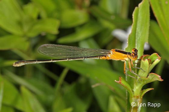 Rambur's Forktail Damselfly - Ischnura ramburii - female