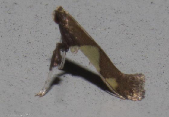 Caloptilia bimaculatella