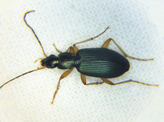 CARABIDAEChlaenius sericeusGround Beetle - Agonum extensicolle