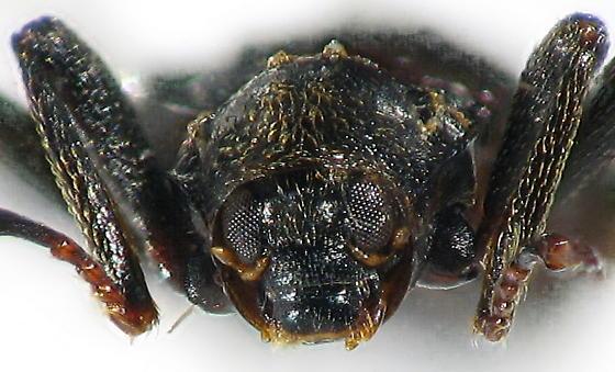 Macronychus glabratus