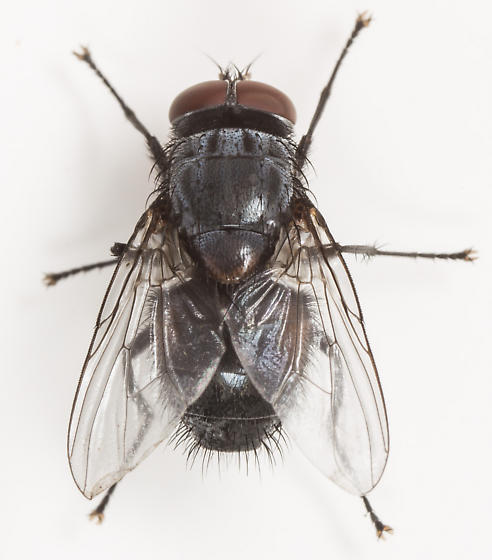 Fly - Muscina pascuorum - male