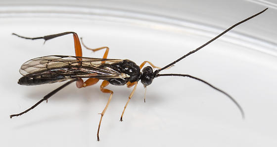 Wasp - Cylloceria - male