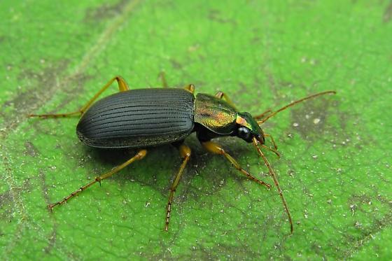 Ground beetle - Chlaenius tricolor