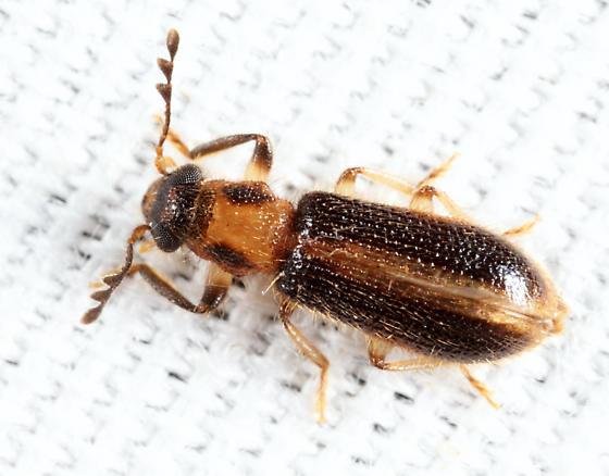 Cregya oculata