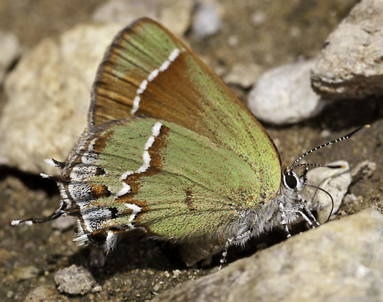 Butterflies were puddling along the trail - Callophrys gryneus