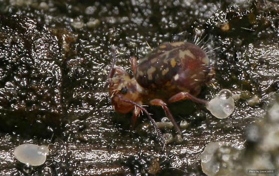 Springtail - Ptenothrix