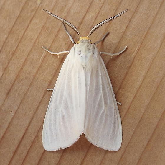 Erebidae: Cycnia oregonensis  - Cycnia oregonensis