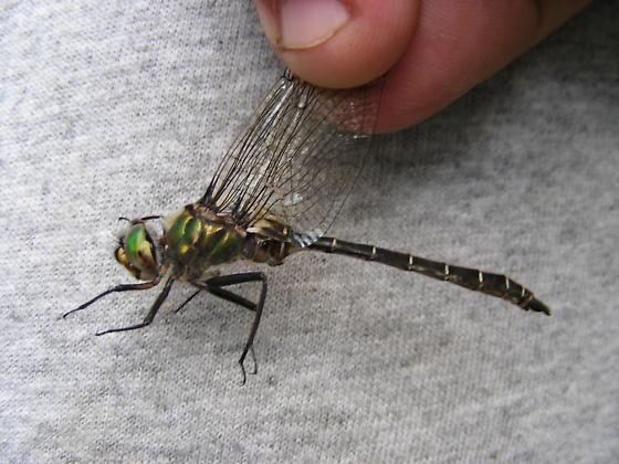 Somatochlora albicincta - male