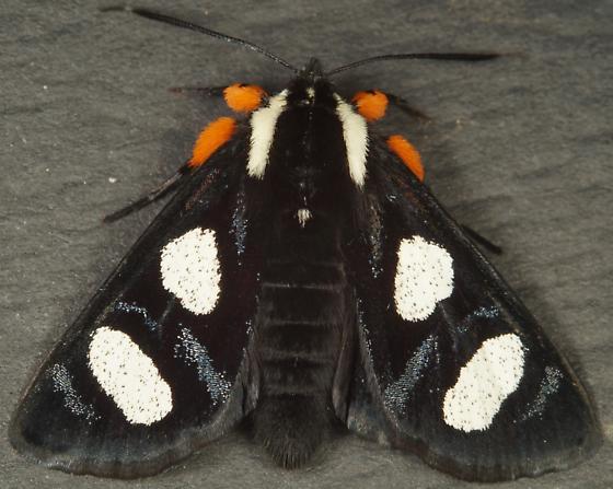 Alypia octomaculata? - Alypia octomaculata