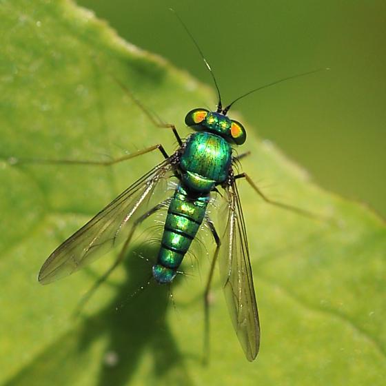 Leaf predator fly - Condylostylus comatus - male