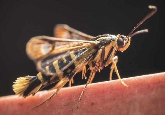 Arkansas Clearwing Moth - Synanthedon arkansasensis