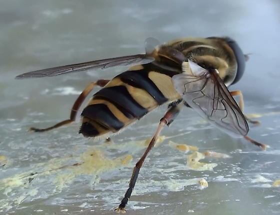 Syrphidae: Helophilus fasciatus? - Helophilus fasciatus - female