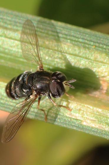tiny hairy hoverfly - Paragus
