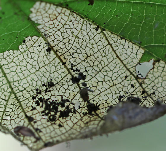 Leaf Roller - Family Tortricidae?