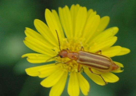 KS Beetle - Pyrota, Perhaps? - Pyrota bilineata