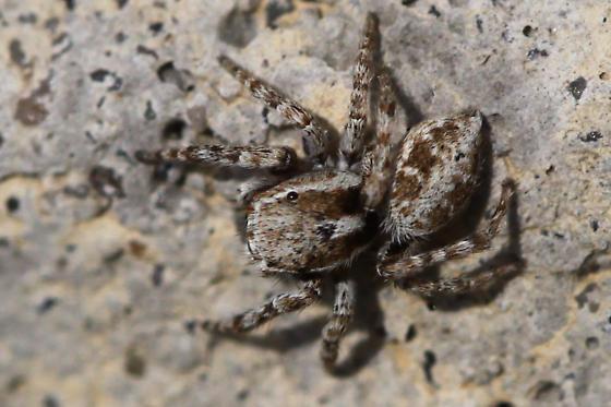 Jumping Spider ? - Attulus ammophilus