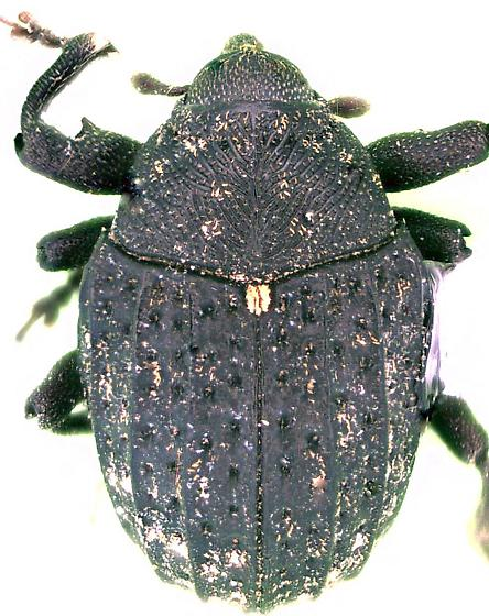Rhyssomatus palmacollis