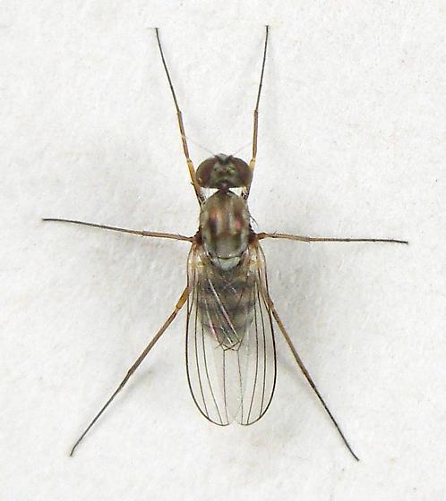 Longlegged Fly - Medetera
