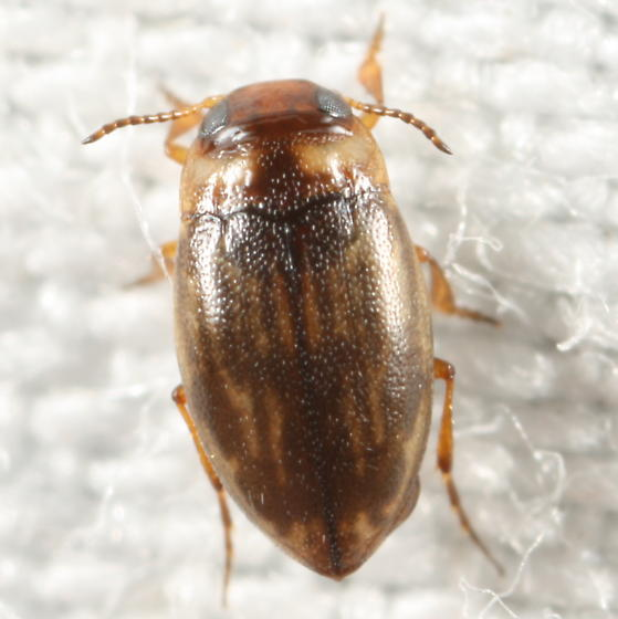 Tiny aquatic(?) beetle - Liodessus