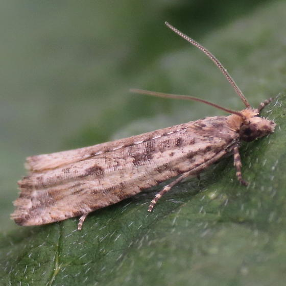 A Tortricid Moth - Bactra