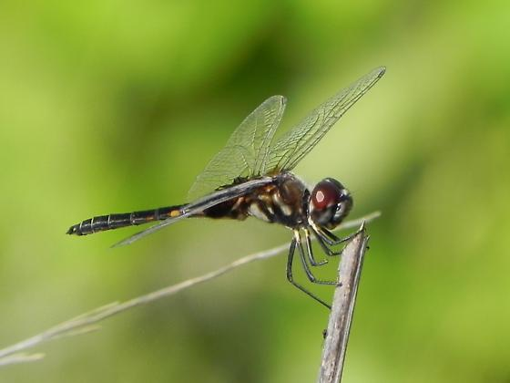 Dragonfly identification assistance requested - Macrodiplax balteata - male