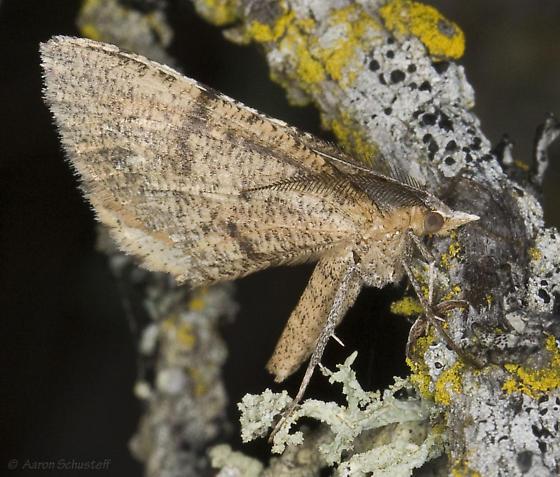 Sericosema on very lichenaceous twig - Sericosema juturnaria - male