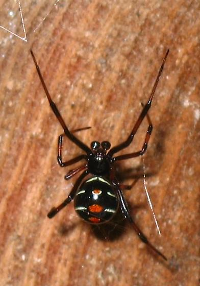 Male Black Widow? - Latrodectus variolus