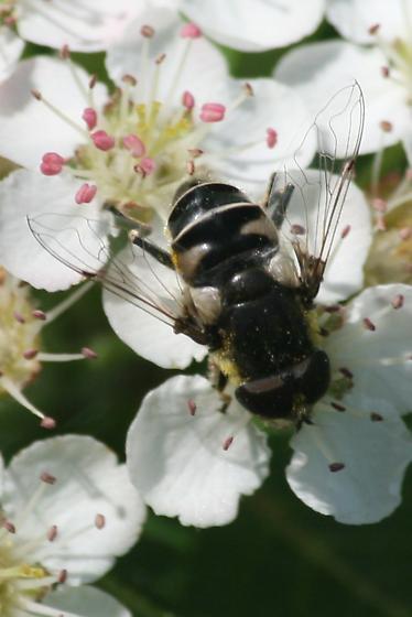 Fly on Aronia - Eristalis dimidiata