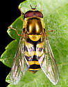Syrphid ID - Syrphus - male
