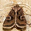 10576 – Hyperepia jugifera - Hyperepia jugifera
